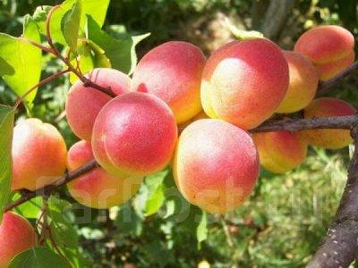 Питомник Саженцы на Золотарях. — Плодовые деревья — Плодово-ягодные