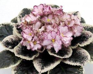 Фиалка Многолепестковые светло - розовые цветы по форме напоминающие полуоткрытые колокольчики. Бронзово - малиновая, а местами с зеленью кайма - напыление делает этот сорт необычным и приковывает взг
