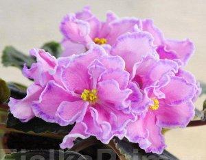 Фиалка Цветы очень крупные, махровые и полумахровые, ярко - розовые с малиновой каймой - напылением и тонким волнистым белым краем. Листья тёмные.