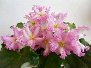 Фиалка Крупные простые выемчато - бахромчатые звёзды белого цвета с лимонным центром и розовыми тенями и каймой. Наложение розового и лимонного в центре цветка создают яркое пятно. Очень обильное и пр