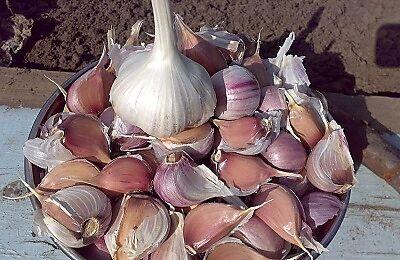 Чеснок и лук севок для осенней посадки. 6/20. Свободное.Мало — Чеснок озимый фасовка  500 гр — Семена овощей