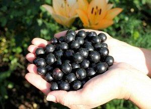 Смородина селечинская  (корне собств) 50-100см