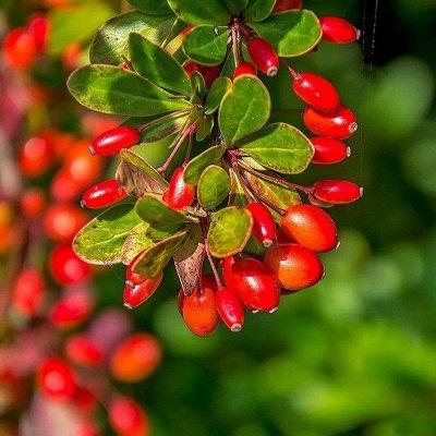 Саженцы плодовых и декоративных растений! Последняя в сезоне — Барбарис — Декоративнолистные