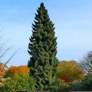Ель сербская (С2/С3 Н40-60) Picea omorika