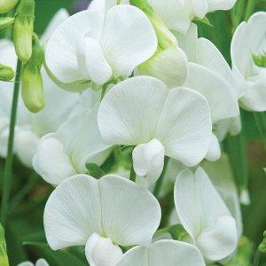 Чина широколистная (многолетний душистый горошек) Белый жемчуг (С2)