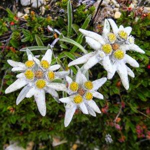 Цветы Эдельвейс Альпийский (0,03г)