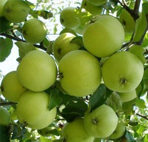 Яблоня карликовая Кроха (С3)Malus
