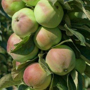 Яблоня Каскад  колоновидная