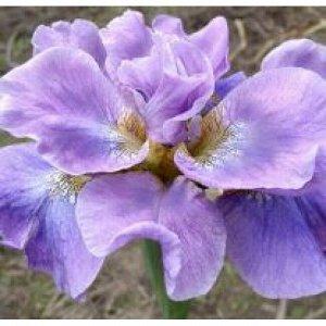 Хэвинг Фан Саженцы ириса сибирского Хэвинг Фантастический в высоту вырастают до 75 сантиметров. В период цветения высокие побеги украшают цветы нежного сиреневого цвета с более темными фиолетовыми про
