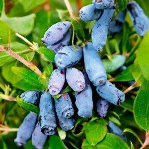 Жимолость Один из хорошо известных садоводам сортов жимолости раннего срока созревания. Плоды очень крупные, массой 1,5 гр. кувшиновидные, бугристые, фоилетово-синего цвета. Вкус приятный, сладкий. Ку