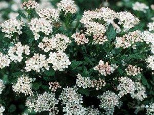 Нанус Визитной карточкой является компактная форма растения, высота которого варьируется от 70 см до 1,3 м. В ширину достигая не более 0,8 м. Листва наделена зеленым окрасом. Цветки сорта Нанус розова