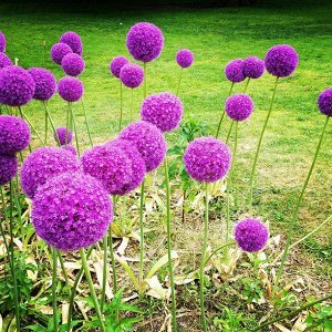 Люси Болл Период цветения: V-VI Люси Болл - эта декоративная садовая форма появилась в результате гибридизации луков афлатунского и Маклеана. На высоких стрелках (до 1м) располагаются некрупные соцвет