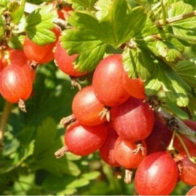 Питомник ШКС! Саженцы весна ОКС! — Крыжовник на любой вкус и цвет! — Плодово-ягодные