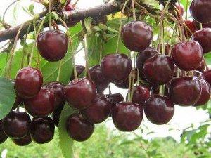 Новелла Плоды вишни Новелла выше среднего размера (масса 4,5 -5 грамм, высота — 1,7 см, ширина — 1,8 см, толщина — 1,4 см), одномерные, по форме — широкоокруглые, слегка притупленные, верхушка чуть вд