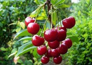 Молодежная Сорт Молодежная - разновидность вишни обыкновенной, характеризуется высокой урожайностью. С одного взрослого дерева собирают 10-12 кг ягод, при благоприятных погодных условиях - до 15 кг. С