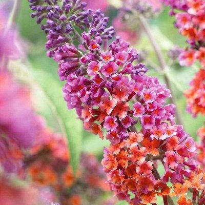 Растения! Выгодные цены! Ограниченное количество! Выбор!  — Буддлея — Декоративноцветущие