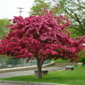 Яблоня декоративная Недзвецкого (С3) лист  снизу пурпурный, цветки пурпурные Malus niedzwetzkyana