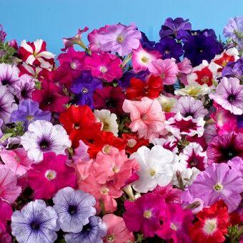 Украсим наш сад-большой выбор красоты. — Цветочки — Декоративноцветущие