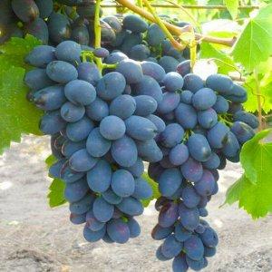Виноград столовый НАДЕЖДА АЗОС