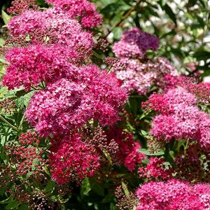 Бумальда Спирея Бумальда или розовая – кустарник, который выделяется декоративным видом, крупными размерами и изысканными цветками. Растение известно своей выносливостью и малотребовательностью в уход