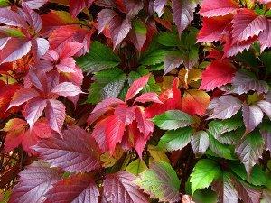 Девичий Самая быстрорастущая и выносливая многолетняя лиана. Летом листья будут радовать вас пышной зеленью, а осенью благородным бардовым оттенком. ⠀Девичий виноград можно использовать не только как