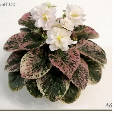 Цветочная - цветущие цикламены - 280 р — Свежесрезанные листы фиалок — Декоративноцветущие