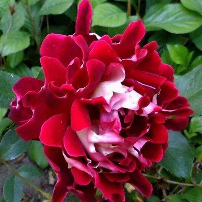 Миллион алых роз! Выбери свою! Осень предзаказ ОКС. — Розы флорибунда — Декоративноцветущие