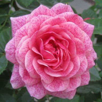 Миллион алых роз! Выбери свою! Осень предзаказ ОКС. — Шрабы,клаймберы и плетистые розы! — Декоративноцветущие
