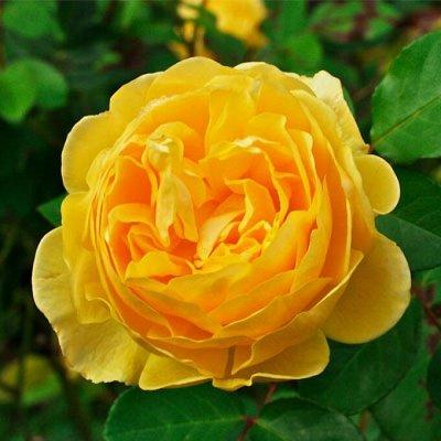 Миллион алых роз! Выбери свою! Осень предзаказ ОКС. — Английские розы! — Декоративноцветущие