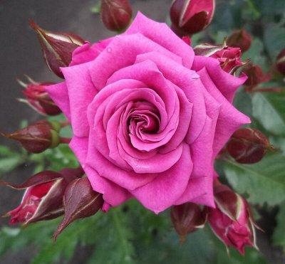 Миллион алых роз! Выбери свою! Осень предзаказ ОКС. — Спрей розы — Декоративноцветущие