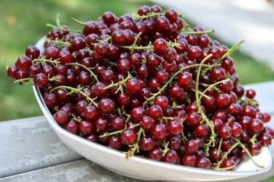 Многолетние цветы и плодовка. Мега расподажа — Разнообразие сортовой смородины — Плодово-ягодные