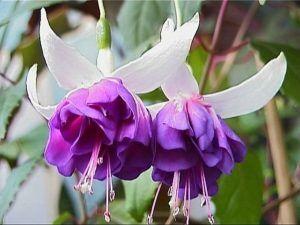 Многолетние цветы и плодовка. Мега расподажа — Фуксии. Хорошие растишки — Декоративноцветущие