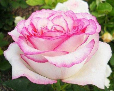 Многолетние цветы и плодовка. Мега расподажа — Шок цена! Розы по 200р — Декоративноцветущие