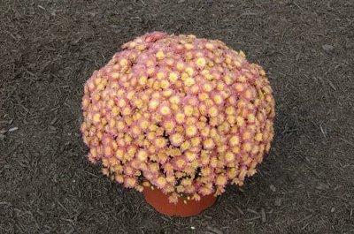 Многолетние цветы и плодовка. Мега расподажа — Весенняя распродажа хризантем. Мультифлора — Декоративноцветущие
