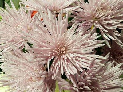 Многолетние цветы и плодовка. Мега расподажа — Весенняя распродажа хризантем. Корейские. Морозостойкие — Декоративноцветущие