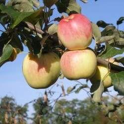 Лук шалот, яблоня, спирея для посадки весной. 17. — Яблоня крупноплодная за 360 р — Плодово-ягодные
