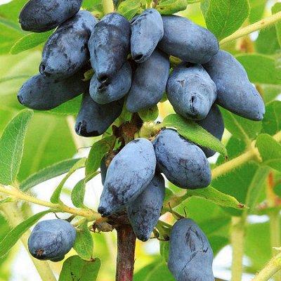 Лук севок, чеснок, пионы, плодовые и другие...Распродажа. — Саженцы. Разное. Скидка на яблоню и остальное! — Плодово-ягодные