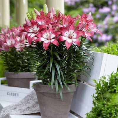Невероятные сорта! Лилии, розы, пионы! На осеннюю посадку!  — Лилии Азиатские горшечные — Декоративноцветущие