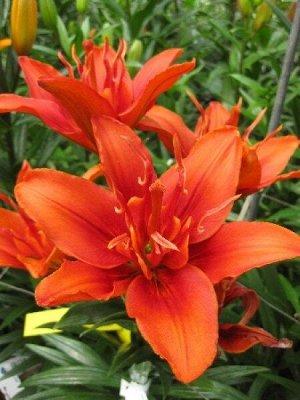 Фанни Твин Цена за 1 упаковку.  Луковицы Лилии азиатской махровой Фанни Твин (Lilium asiatic Funny Twin) обильно цветут и не требуют особого ухода. Сорт отличается крупными (до 18 см в диаметре) цветк
