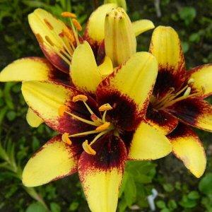 Бамблби Цена указана за 1 упаковку.  Лилии - многолетние луковичные растения. Высота у разных видов от 30 до 200 см. Есть сорта для выращивания в горшках. Месторасположение: Предпочитают солнечные или
