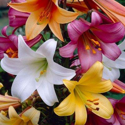 Невероятные сорта! Лилии, розы, пионы! На осеннюю посадку!  — Лилии Видовые — Декоративноцветущие
