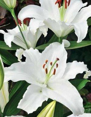 Астериан Луковицы лилии восточной Астериан (Lilium oriental hybrids Asterian) — это лучший вариант для выращивания под срез. На одном стебле одновременно распускается несколько цветов, по 15 см в диам
