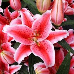Карнавал Луковицы лилии восточной Карнавал (Lilium Carnival) — выгодное приобретение для ценителей ярких контрастов. Цветы распускаются во второй половине лета, образуя по пышному букету на каждом цве