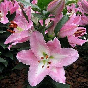 Сувенир Высота,см: 40  Саженцы и рассада Лилии восточной горшечной Сувенир (Lilium oriental Souvenir) подарят клумбам экзотическую привлекательность. Огромные цветы яркой раскраски на коротких стеблях