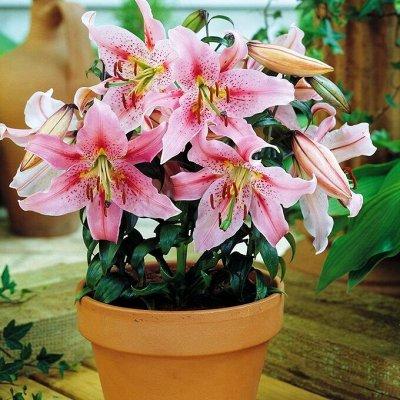 Невероятные сорта! Лилии, розы, пионы! На осеннюю посадку!  — Лилии Восточные горшечные — Декоративноцветущие