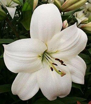 Литовен Саженцы и рассада ла-гибридной Лилии Литовен (Lilium LA-hybrids Litouwen) как и другие представители многолетних растений семейства лилейные являются любителями солнечных лучей и с некоторым н
