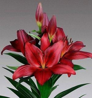 Мираж Луковицы Лилии ЛА-гибрид Мираж (Lilium LA-hybrids Mirage) превращаются в высокорослое растение необыкновенной красоты. Цветки с оттенком спелой вишни состоят из идеальных по форме лепестков, чут