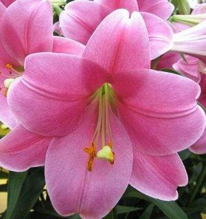 Венделла Луковицы лилии ЛО-гибрид Венделла покоряют красотой и совершенством цветков. Они распускаются в июне-июле и достигают 15-20 см в диаметре. Широкие, слегка выгнутые лепестки окрашены в насыщен
