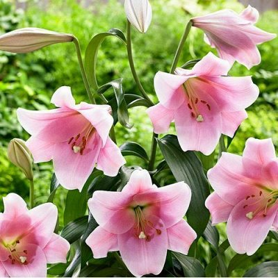 Невероятные сорта! Лилии, розы, пионы! На осеннюю посадку!  — Лилии ЛО-Гибриды и ЛОО-Гибриды — Декоративноцветущие