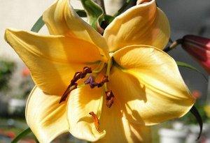 Авокадо ОТ-Гибрид  Саженцы и рассада от-гибридной Лилии Авокадо (Lilium OT-hybrid Avocado) из канадской селекционной серии вырастают высотой до 110 см и распускаются множеством крупных цветков. Для лу